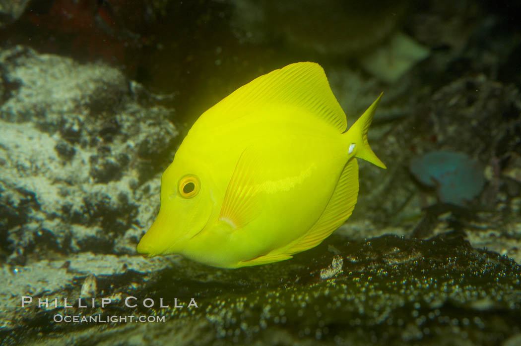 Yellow tang., Zebrasoma flavescens, natural history stock photograph, photo id 11043