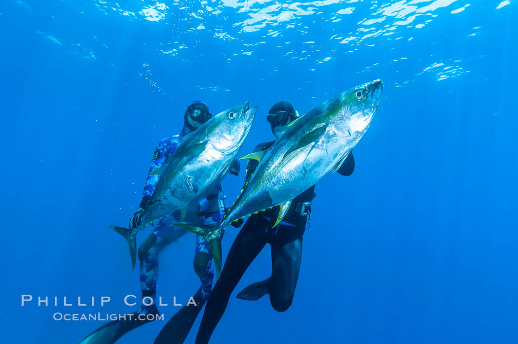 Joe Tobin (left) and James Tate (right) with yellowfin tuna (approx 60 pounds each), taken by breathold diving with band-power spearguns near Abalone Point.  Guadalupe Island, like other Eastern Pacific islands, is a fine place in the world to spear large yellowfin tuna.  July 2004. Guadalupe Island (Isla Guadalupe), Baja California, Mexico, Thunnus albacares, natural history stock photograph, photo id 09594