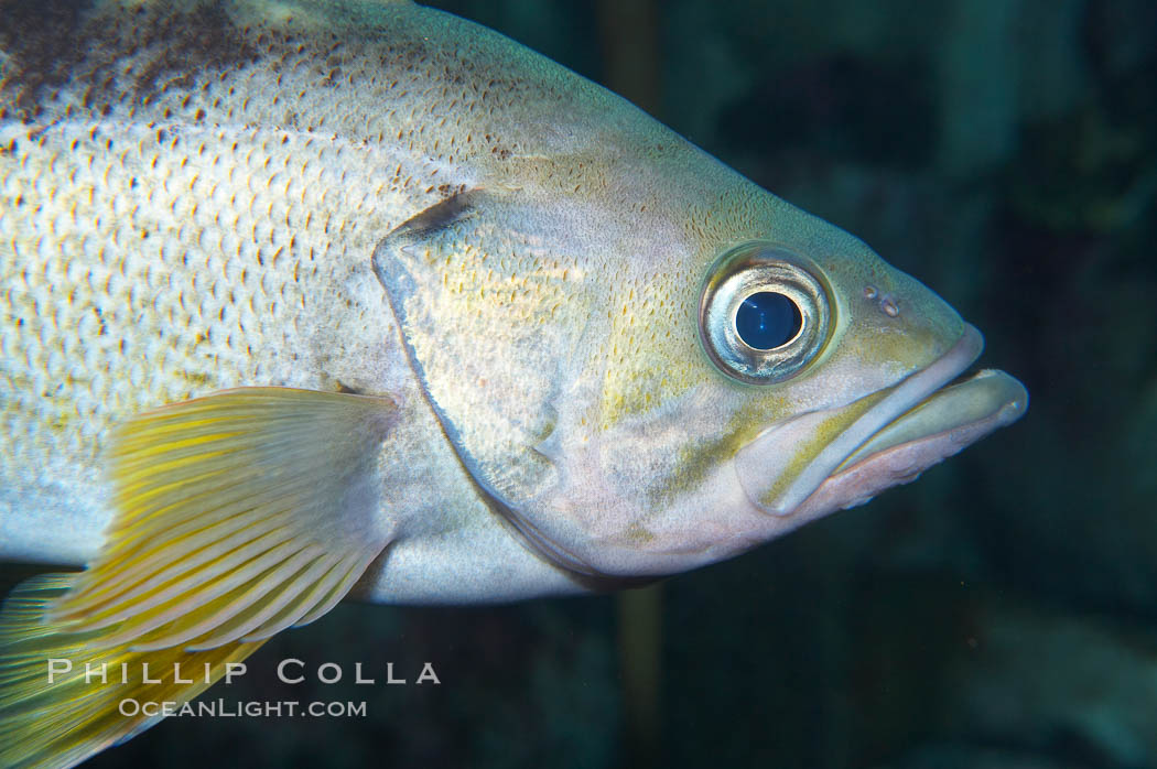 Yellowtail rockfish are found the eastern Aleutian island as far south as southern California, and can live over 60 years., Sebastes flavidus, natural history stock photograph, photo id 16959