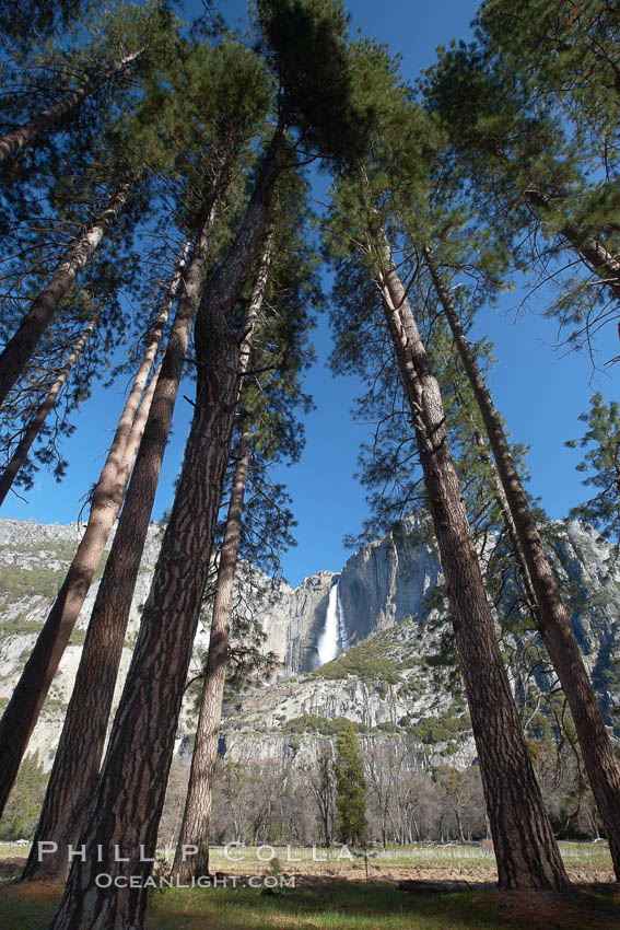 Yosemite Falls and tall pine trees, viewed from Cook's Meadow. Yosemite National Park, California, USA, natural history stock photograph, photo id 22746