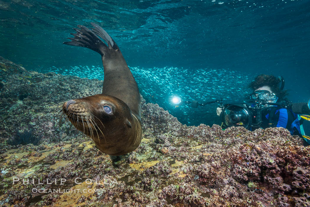 Young California sea lion pup underwater, Sea of Cortez. Baja California, Mexico, Zalophus californianus, natural history stock photograph, photo id 31238