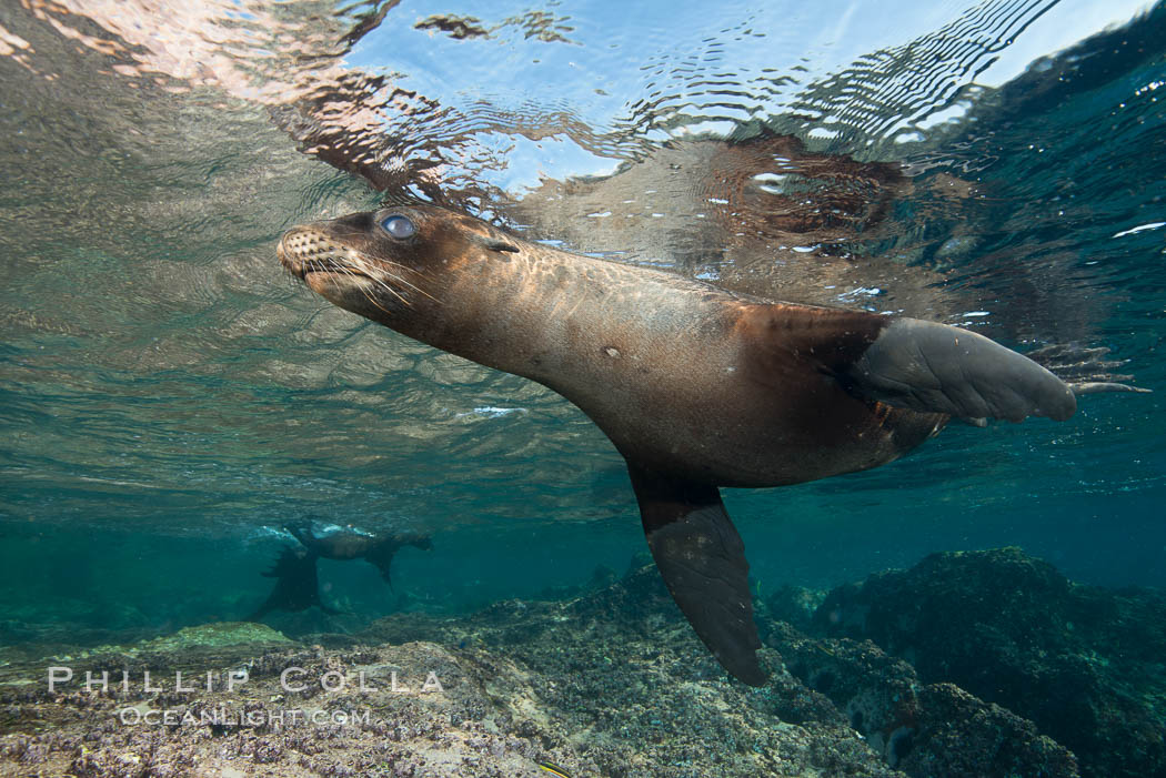 Young California sea lion pup underwater, Sea of Cortez. Sea of Cortez, Baja California, Mexico, Zalophus californianus, natural history stock photograph, photo id 31224