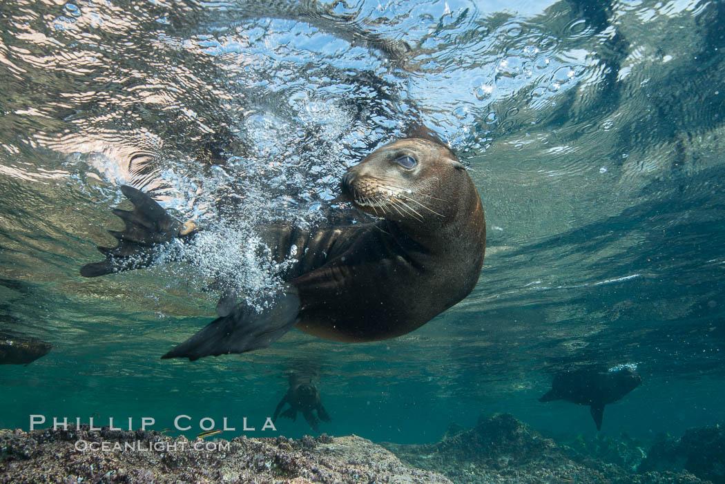 Young California sea lion pup underwater, Sea of Cortez. Sea of Cortez, Baja California, Mexico, Zalophus californianus, natural history stock photograph, photo id 31223
