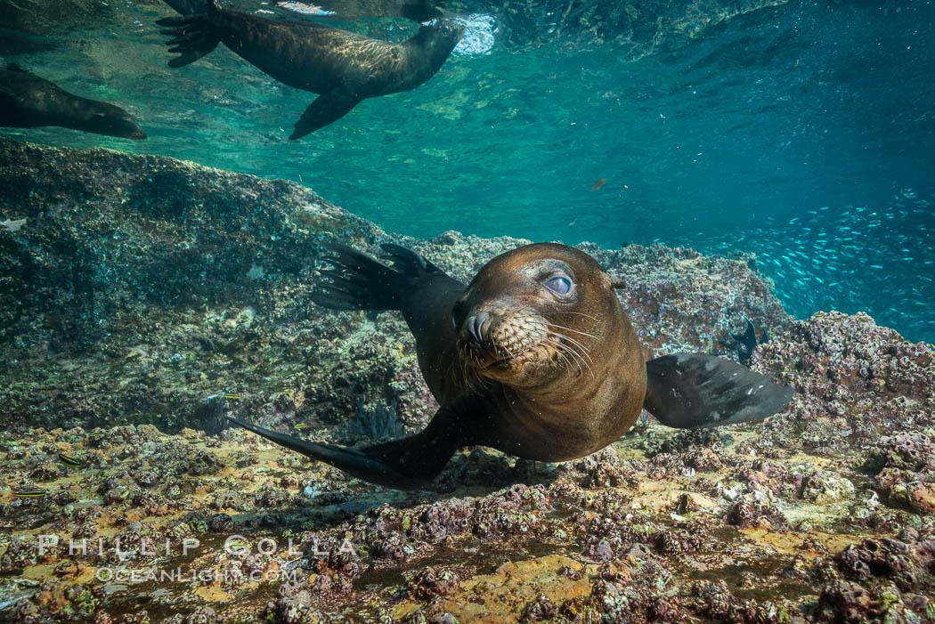Young California sea lion pup underwater, Sea of Cortez. Sea of Cortez, Baja California, Mexico, Zalophus californianus, natural history stock photograph, photo id 31239