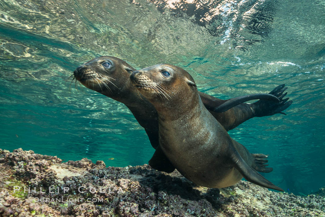 Young California sea lion pups underwater, Sea of Cortez, Mexico. Sea of Cortez, Baja California, Mexico, Zalophus californianus, natural history stock photograph, photo id 31209