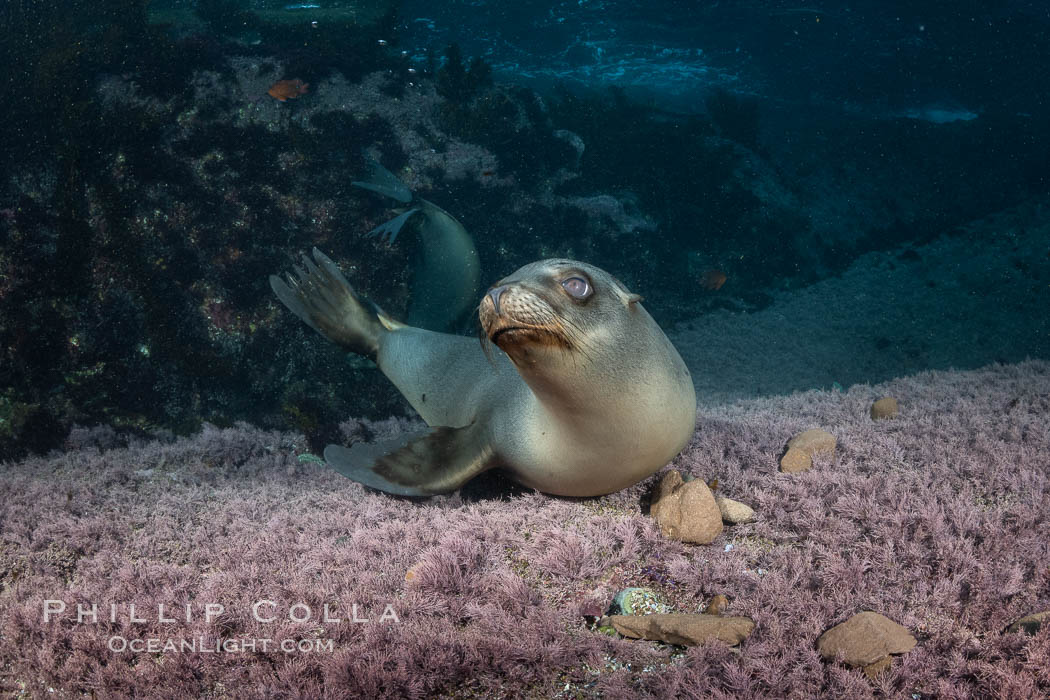 California sea lion playing with rocks underwater, Coronados Islands, Baja California, Mexico, Zalophus californianus, Coronado Islands (Islas Coronado)