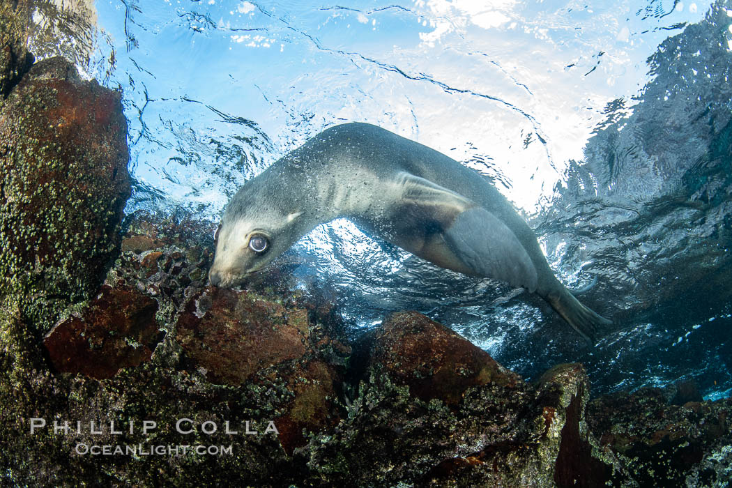 Portrait of a young California sea lion underwater, Coronados Islands, Baja California, Mexico. Coronado Islands (Islas Coronado), Zalophus californianus, natural history stock photograph, photo id 35868