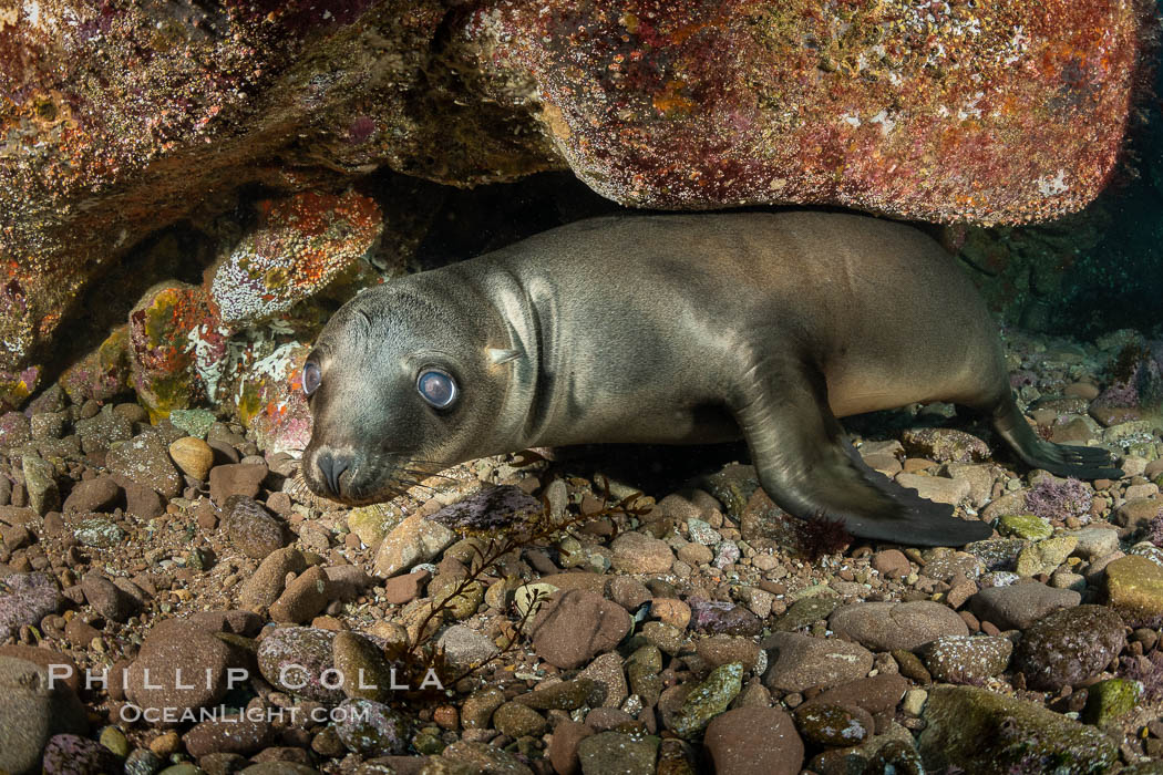 Portrait of a young California sea lion underwater, Coronados Islands, Baja California, Mexico. Coronado Islands (Islas Coronado), Zalophus californianus, natural history stock photograph, photo id 35869
