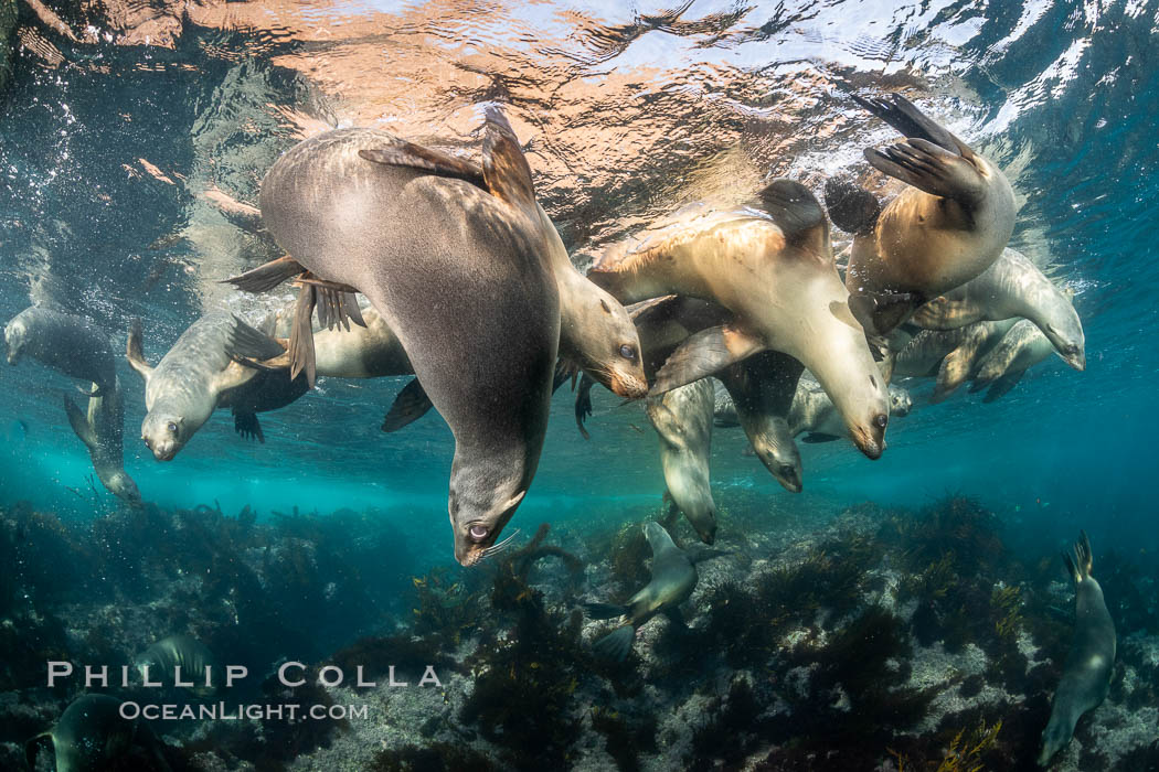 Young California sea lions playing underwater, Coronados Islands, Baja California, Mexico, Coronado Islands (Islas Coronado)