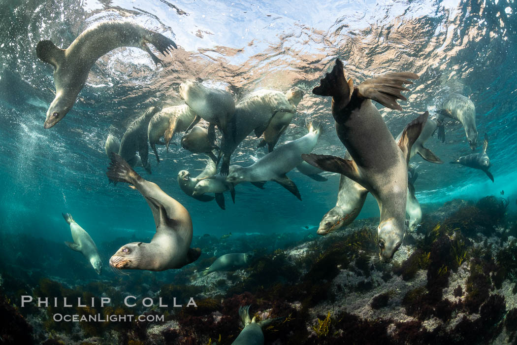Young California sea lions playing underwater, Coronados Islands, Baja California, Mexico. Coronado Islands (Islas Coronado), Zalophus californianus, natural history stock photograph, photo id 35884