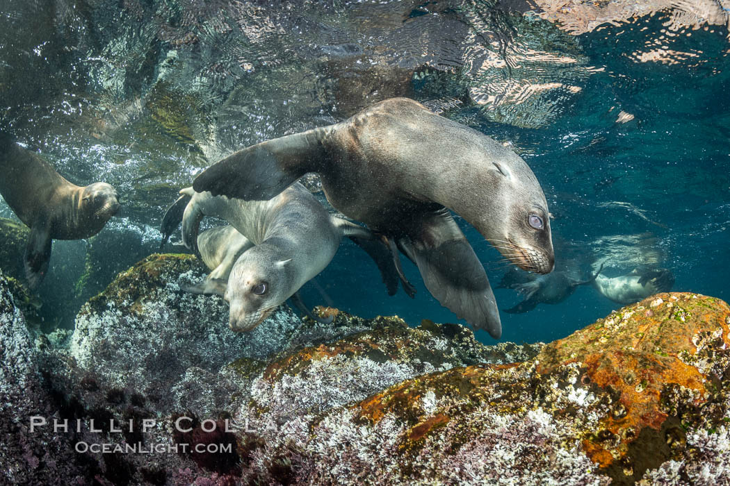 Young California sea lions playing underwater, Coronados Islands, Baja California, Mexico. Coronado Islands (Islas Coronado), Zalophus californianus, natural history stock photograph, photo id 35877