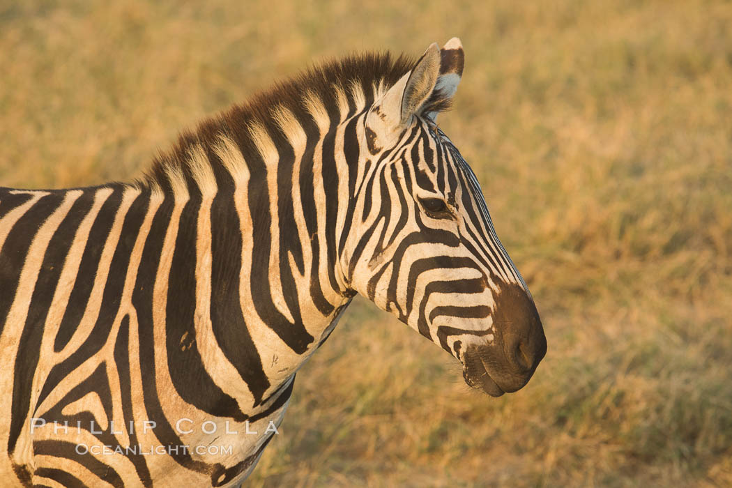 Zebra, Amboseli National Park, Kenya. Amboseli National Park, Kenya, Equus quagga, natural history stock photograph, photo id 29594