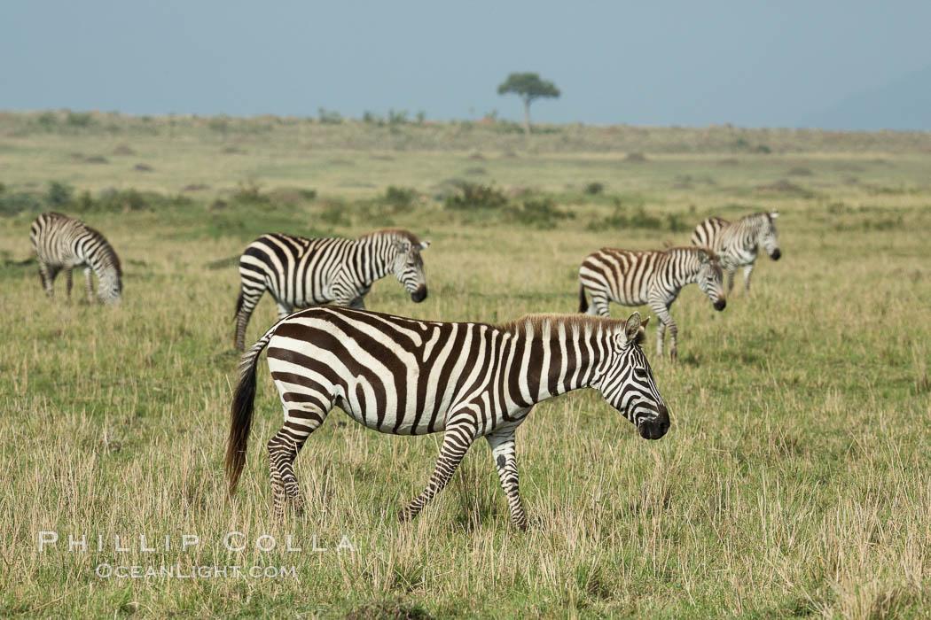 Image 29966, Zebra, Maasai Mara National Reserve, Kenya. Maasai Mara National Reserve, Kenya, Equus quagga