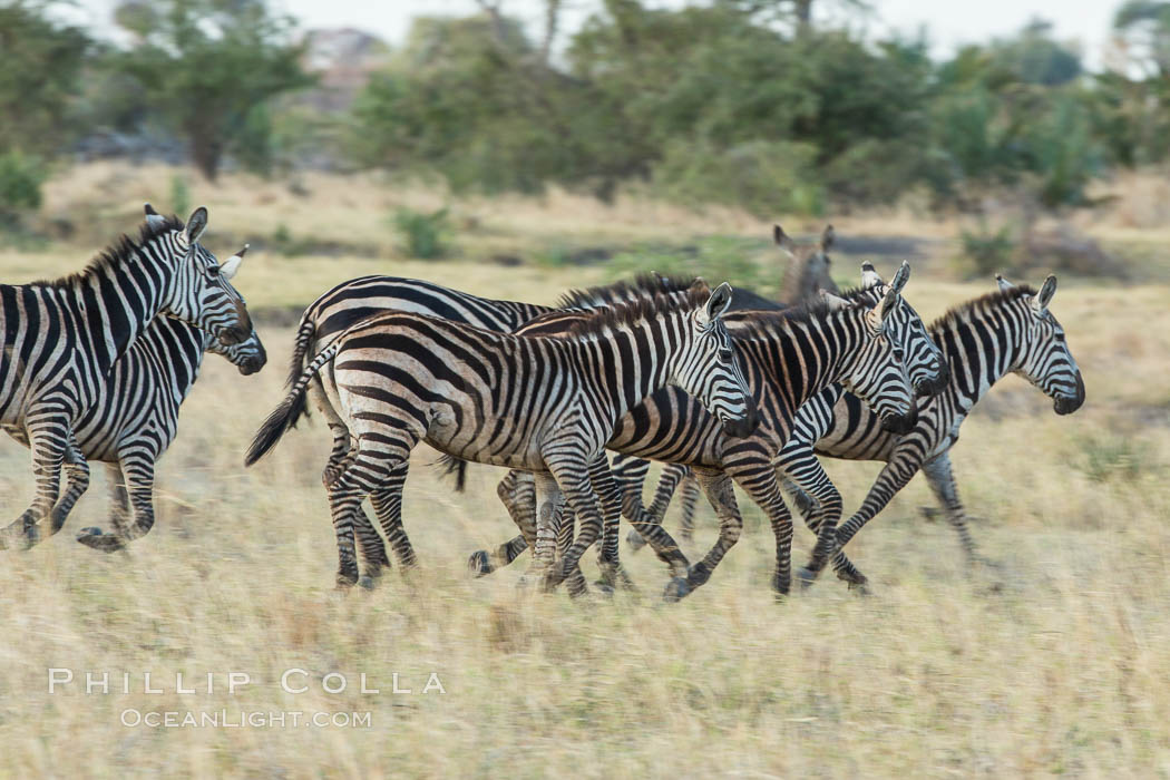 Zebra, Meru National Park, Kenya., Equus quagga, natural history stock photograph, photo id 29632
