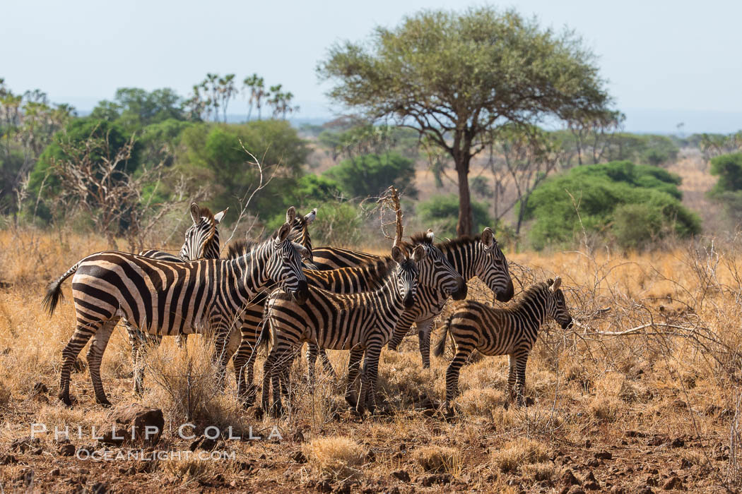 Zebra, Meru National Park, Kenya. Meru National Park, Kenya, Equus quagga, natural history stock photograph, photo id 29719