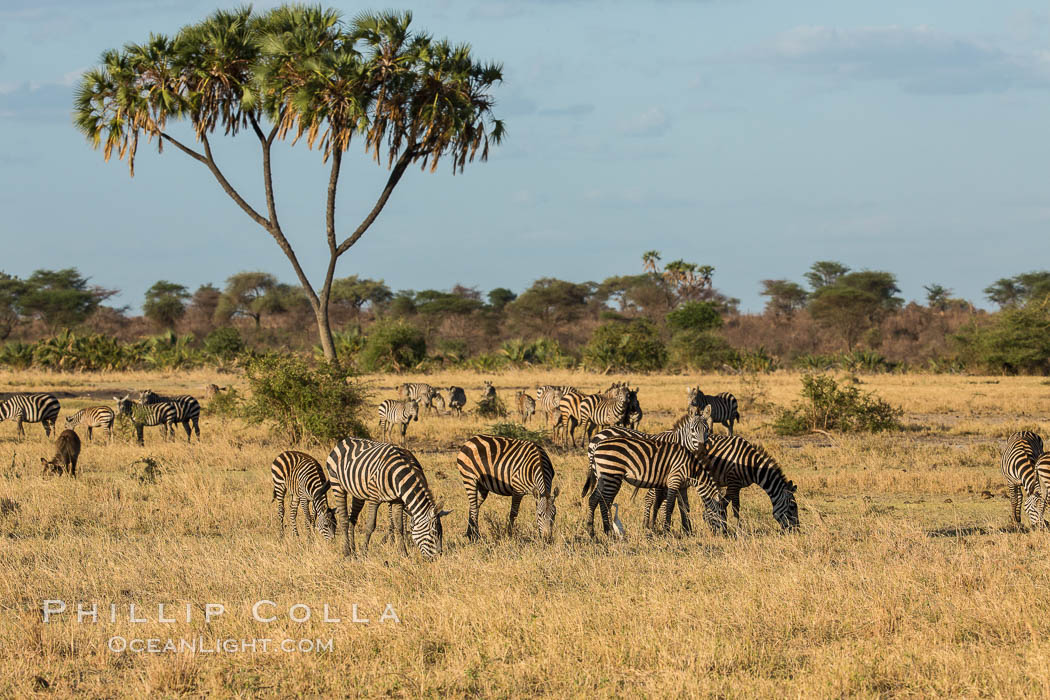 Zebra, Meru National Park, Kenya., Equus quagga, natural history stock photograph, photo id 29629