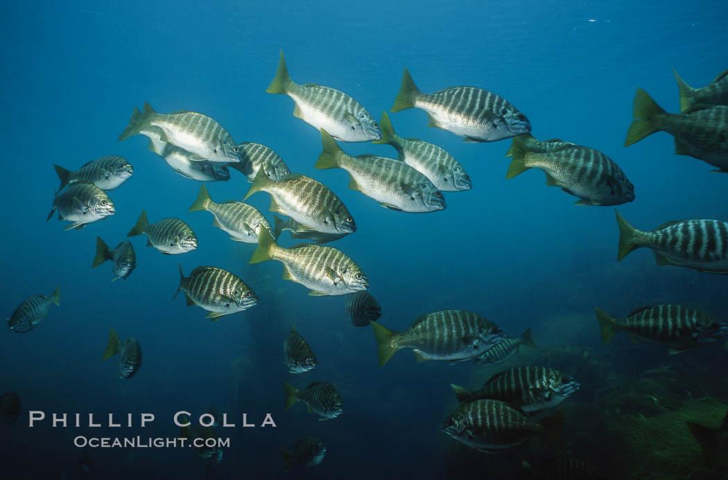 Image 06199, Zebra perch. San Benito Islands (Islas San Benito), Baja California, Mexico, Hermosilla azurea