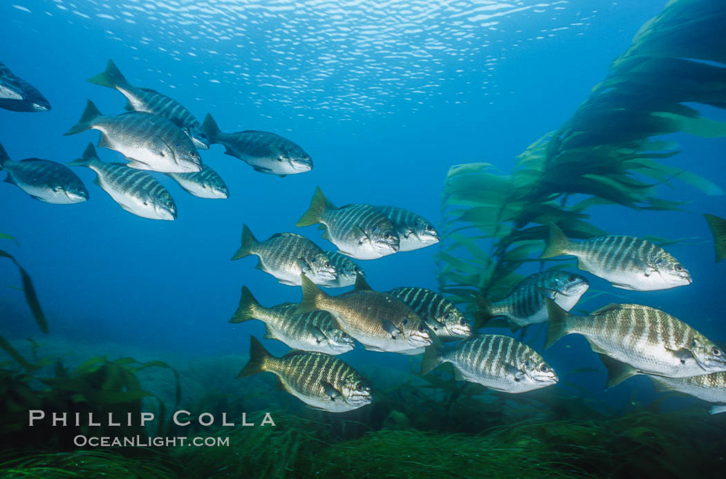 Image 06200, Zebra perch amid kelp forest, Islas San Benito. San Benito Islands (Islas San Benito), Baja California, Mexico, Hermosilla azurea, Macrocystis pyrifera, Phillip Colla, all rights reserved worldwide. Keywords: algae, animal, baja california, california, cluster, creature, fish, fish behavior, fishes, forest, giant kelp, group, habitat, hermosilla azurea, kelp, kelp forest, macrocystis, macrocystis pyrifera, marine, marine algae, marine plant, mexico, nature, ocean, oceans, outdoors, outside, pacific, pacific ocean, plant, san benito island, san benito islands, school, schooling, sea, seaweed, teleost fish, underwater, wildlife, zebra perch.