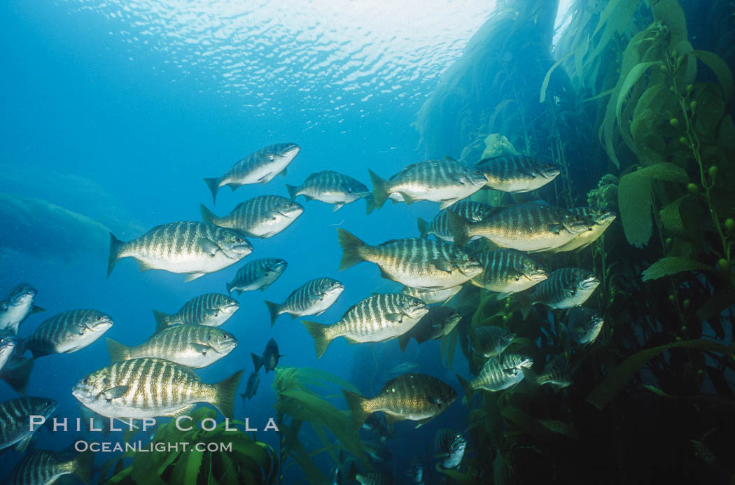 Zebra perch amid kelp forest, Islas San Benito. San Benito Islands (Islas San Benito), Baja California, Mexico, Hermosilla azurea, Macrocystis pyrifera, natural history stock photograph, photo id 06193