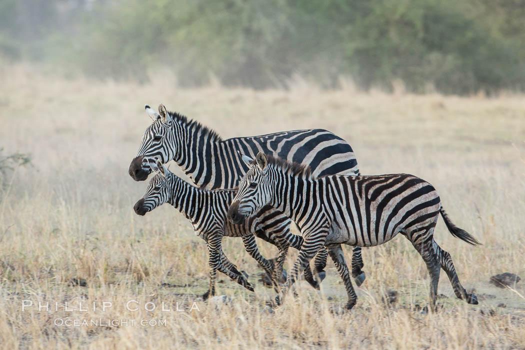 Zebra running, Meru National Park, Kenya. Meru National Park, Kenya, Equus quagga, natural history stock photograph, photo id 29634