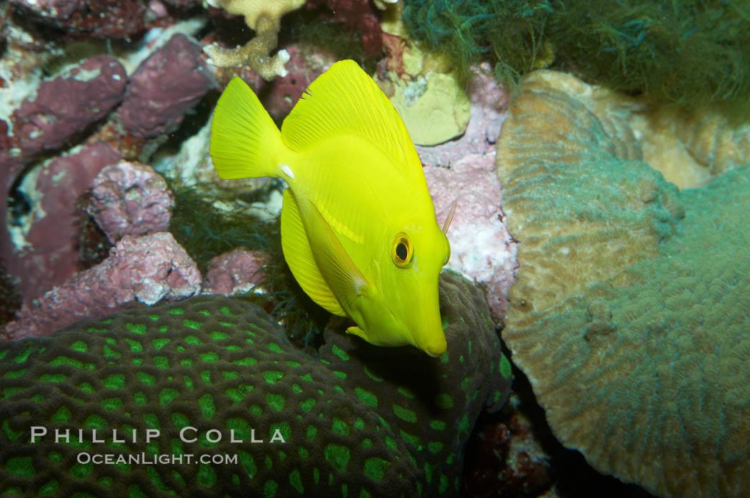 Image 11850, Yellow tang, juvenile., Zebrasoma flavescens
