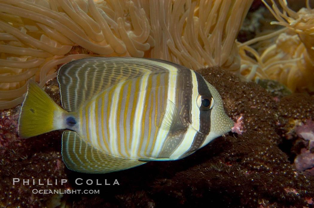 Sailfin tang., Zebrasoma veliferum, natural history stock photograph, photo id 07830
