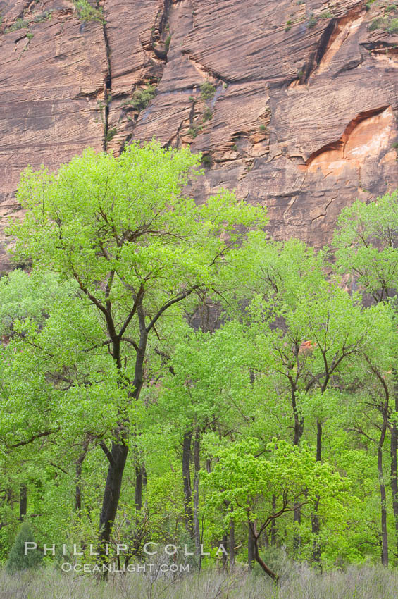Cottonwoods with their deep green spring foliage contrast with the rich red Navaho sandstone cliffs of Zion Canyon. Zion National Park, Utah, USA, natural history stock photograph, photo id 12500